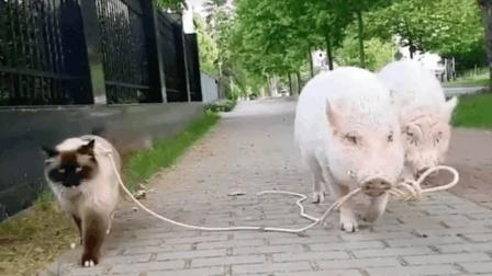 会玩! 这是猫在遛猪还是猪在遛猫? 网友: 这是要搭伴的节奏啊!