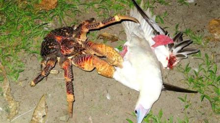 这螃蟹成精了! 不好好吃海物! 竟然打起了鸟的主意!
