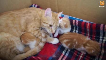 干净的橘猫带了三个娃, 小橘猫萌萌哒