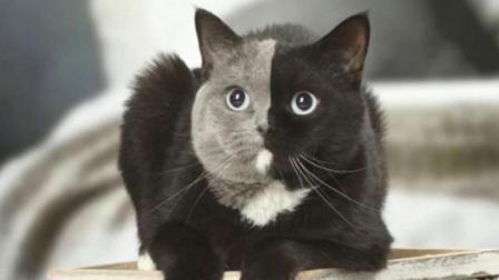 法国一小猫刚出生脸上一边灰色一边黑色, 主人高兴坏了!