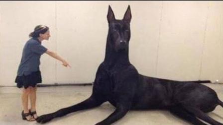 世界上最大的狗有多大? 说出来你都不敢信