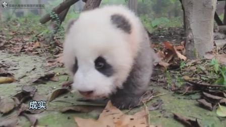 萌萌的小熊猫就会装萌不过真的很可爱
