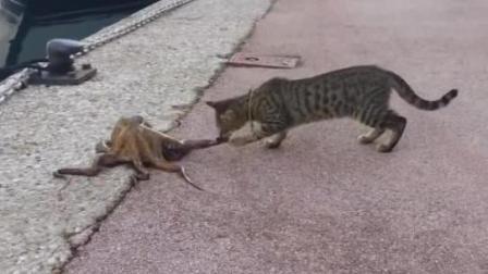 小猫斗章鱼, 结果让人哭笑不得