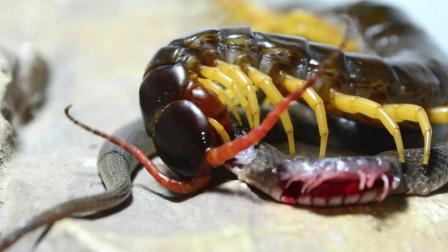 巨型蜈蚣捕食黑蛇, 3分钟便肢解!