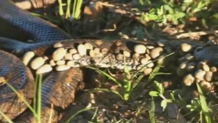 上百只蜱虫叮咬蟒蛇 画面极其残忍恶心