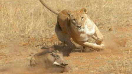 活了20多年, 这是我见过最能跑的疣猪, 在群狮的围攻下竟能活命!