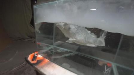 超强生命力! 鲤鱼被放入零下196度冬眠后苏醒