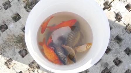 中国金鱼超强繁衍能力 造成生态污染