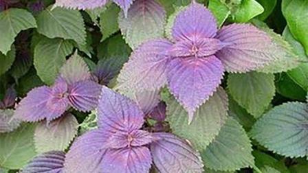 家中种植这两种植物, 不仅好看, 而且可以治疗感冒上火!