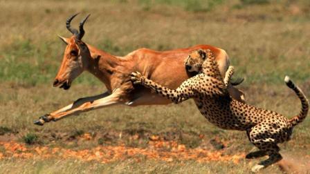 猎豹爸爸带小猎豹出来捕猎, 却被羚羊弄伤, 小猎豹大喊垃圾