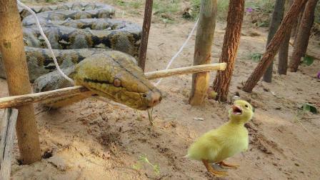 这个村的男孩真勇敢, 上山自制陷阱捉大蟒蛇, 居然毫不畏惧!