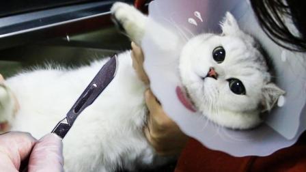 猫咪生日那天惨遭绝育, 内心无法接受便装死, 主人和医生都吓哭了!