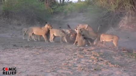 疯狂的动物 狮子捕猎