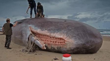 大白鲸腹中空间竟如此之大, 潜水员在其中连住三天!