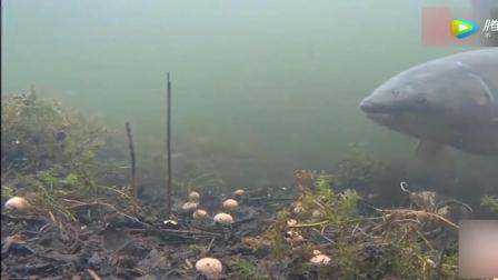 钓鱼: 看鱼在水底吃食, 才知道钓鱼打窝子有多么重要