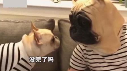 主人带了法斗犬同款头套, 狗子疯了疯了