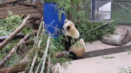 胖熊猫对绿色的筒子很感兴趣还自己爬了进去