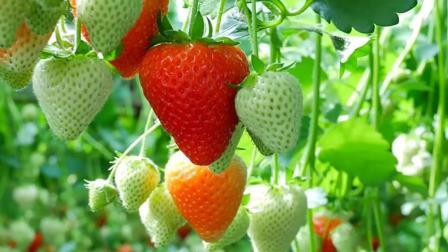 农业新技术: 创新草莓种植技术