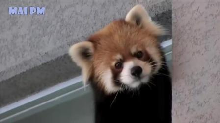 萌萌的小熊猫的可爱集锦