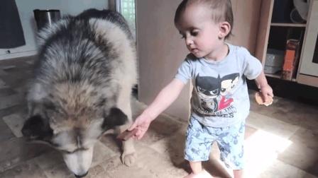 贪吃的哈士奇狗狗, 二哈这回学聪明了, 怕挨骂就让小主人去帮它偷饼干吃