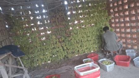 葡萄干超级脏, 原来新疆人吃葡萄干之前都这样做, 真不可思议