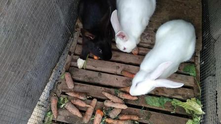 三只小兔子吃胡萝卜搞笑视频2018兔子养殖技术视