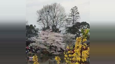 武大樱花绽放盛景