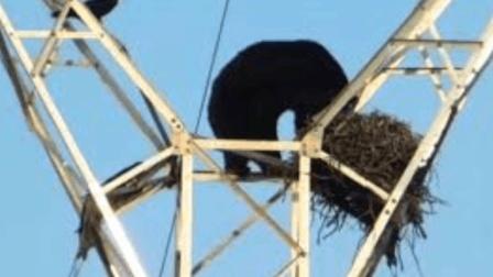 史上最强吃货! 加拿大黑熊为吃鸟蛋, 竟爬上电塔!