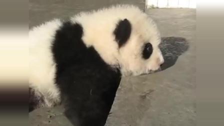 熊猫宝宝慢吞吞的爬上台阶