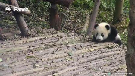 熊猫宝宝跟着饲养员这小碎步迈的太萌了