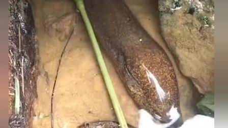 小伙发现一条野生大黄鳝, 网友: 主播正在来的路上