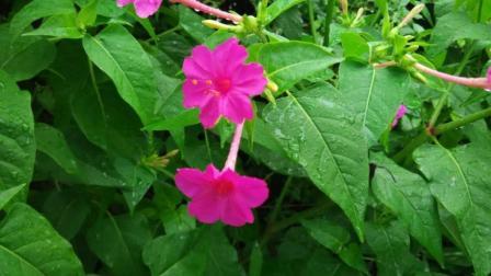 """农村常见的""""洗澡花"""", 只在傍晚开花, 女性使用有特效!"""