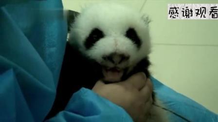 """""""留洋""""熊猫打哈欠走红! 老外挤破头观看! 中国人一看哈哈大笑"""