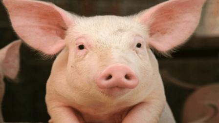 为何我国猪肉平均卖16元1斤, 而老美的只卖5元, 网友: 明白了