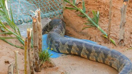 农村小哥发明无人自动捕捉神器, 大蛇纷纷上钩, 你不一定见过!