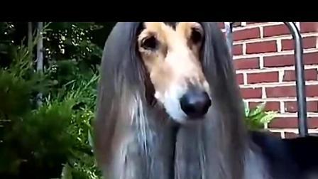 阿富汗猎犬这种狗狗, 颜值高又聪明, 马上养一只