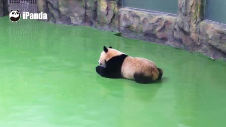 熊猫宝宝对冰块爱不释手还抱着打滚