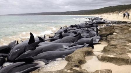 是对死的追求? 还是生命的不挽留? 150条鲸鱼集体搁浅!