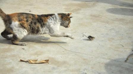 猫抓老鼠, 这只老鼠不认命, 太顽强了