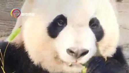今年年中 昆明动物园将会重新引进大熊猫