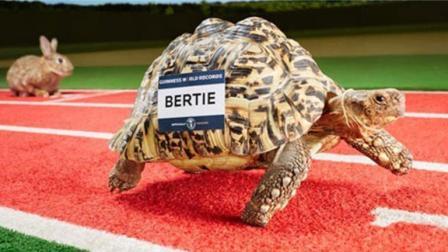 世界上速度最快的乌龟, 速度太快, 轻松拿下新吉尼斯世界纪录!