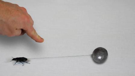 给黑甲虫绑上绳子你猜它能拉动多大重量? 最后数据真是刷新认知!