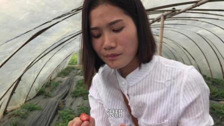 美女第一次去摘草莓, 30块钱一斤你们觉得贵不贵? 进去随便吃