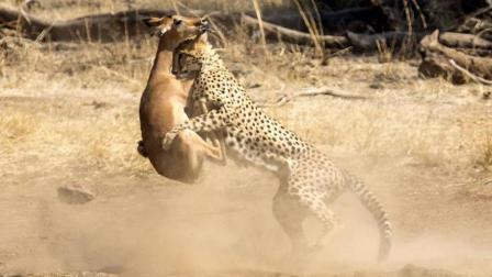 豹子抓住羚羊却不吃它, 羚羊想跑还跑不掉, 随后的事更让羚羊崩溃