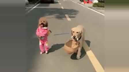 泰迪背着书包上学, 被学生们堵在门外, 场面超搞笑
