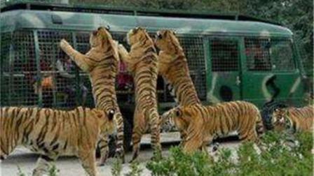 世界上最危险的动物园, 进去之前要签生死状, 老虎鳄鱼都随便你摸