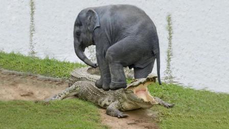 鳄鱼偷袭喝水大象, 象群疯狂了, 镜头记录下鳄鱼悲催的瞬间!