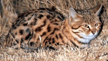 世界上最凶残的猫咪, 体重仅有3斤重, 号称可以猎杀长颈鹿!