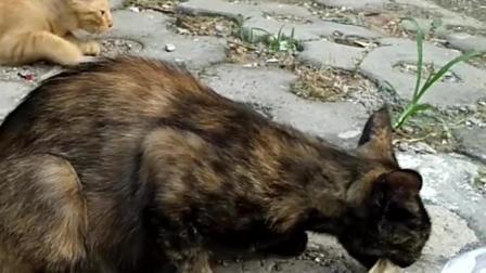 猫科动物不好惹, 原创微纪录片《日常喂猫》听听小猫咬碎骨头的声音