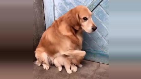 主人把小金毛卖的只剩一个了, 金毛妈不让主人碰最后一个宝宝, 怕再被卖了, 太护犊子了!
